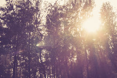 Sunbeams in the woods Royalty Free Stock Photography