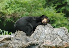 Sunbear Royalty Free Stock Photos