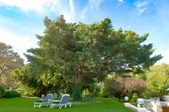 Sunbeds在美丽的巨大的树下在旅馆地窖Hohenort,南非庭院里  免版税图库摄影