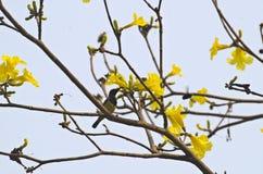 Sunbir aceituna-apoyado varón Fotos de archivo