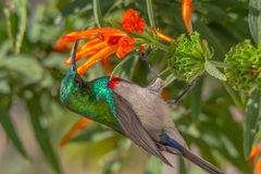 Sunbird,当红色和蓝色胸口哺养在橙色花 库存图片