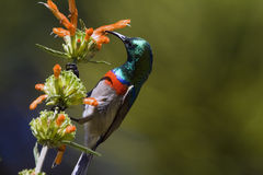 Sunbird Foto de Stock Royalty Free
