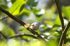 小sunbird 免版税库存图片