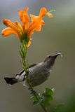 Sunbird Lizenzfreie Stockfotografie