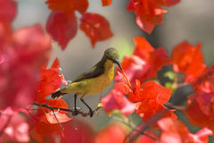 Sunbird. Sitting on red flowers Stock Photography