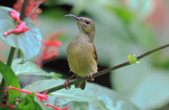 Sunbird. An olive back sunbird looking for a blossom to feed from stock images
