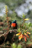 Sunbird Royalty Free Stock Photography
