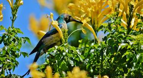 Sunbird Stockfotos
