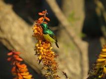 Sunbird Στοκ Εικόνες