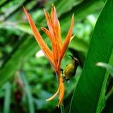 Sunbird Fotografering för Bildbyråer