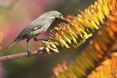 绿色女性sunbird坐黄色芦荟得到花蜜 免版税库存图片