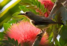 Sunbird Lizenzfreies Stockbild