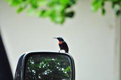 Sunbird Royalty-vrije Stock Afbeeldingen