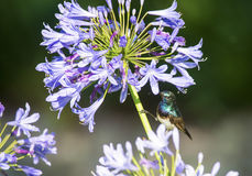 Sunbird and agapanthus Royalty Free Stock Image