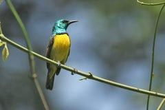 Sunbird agarrado, pájaro tropical en Gambia Fotos de archivo libres de regalías