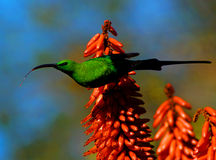 Green sunbird on red Aloe Royalty Free Stock Image