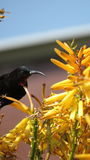 Sunbird ametista (maschio) Immagini Stock