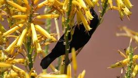 Sunbird ametista (maschio) Fotografia Stock