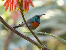 Sunbird anaranjado-breasted en una planta brillante del áloe imagen de archivo