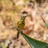 Sunbird anaranjado-breasted juvenil foto de archivo libre de regalías