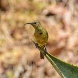 Sunbird anaranjado-breasted juvenil imagen de archivo libre de regalías