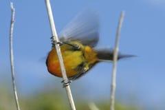 Sunbird Arancione-Breasted Fotografia Stock