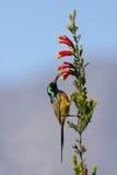 Sunbird auf einer Erica Lizenzfreie Stockbilder