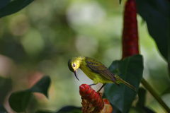 Sunbird. Beautiful sunbird.In search of food Stock Images