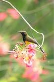 Sunbird bonito na flor da árvore do orgulho de Barbadose Fotografia de Stock