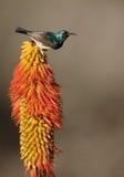 sunbird Branco-inchado, talatala de Cinnyris Imagens de Stock