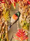 Sunbird breasted naranja con las flores del áloe Fotografía de archivo libre de regalías