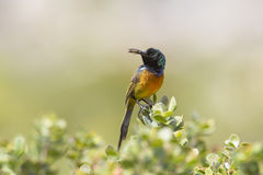 Sunbird breasted par orange Images libres de droits