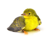sunbird Brown-throated photo stock