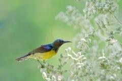 sunbird Brown-throated, bel oiseau étant perché sur la fleur de paume Images libres de droits