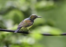 Sunbird Brown-Throated sur le fil Photo libre de droits