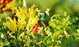 Sunbird Royalty Free Stock Images