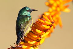 Sunbird colleté Photographie stock
