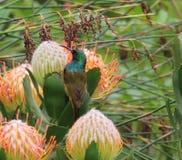 Sunbird colleté par double été perché sur un protea images libres de droits