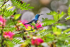 Sunbird coloré Photographie stock libre de droits