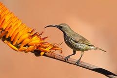 sunbird Color scarlatto-chested Immagini Stock Libere da Diritti
