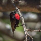Sunbird Color scarlatto-chested nel parco nazionale di Kruger, Sudafrica Fotografia Stock Libera da Diritti