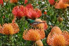 Sunbird colorido que se sienta en un cordifolium de Leucospermum Fotografía de archivo libre de regalías