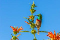 Sunbird, con el pecho rojo y azul alimentando en arbusto Foto de archivo