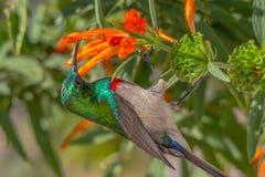 Sunbird, con el pecho rojo y azul alimentando en la flor anaranjada Imagenes de archivo
