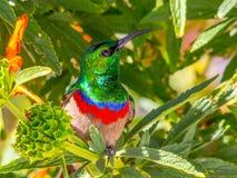 Sunbird, con el pecho rojo y azul, haciendo frente a la cámara, mirando para arriba Imagen de archivo