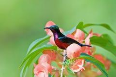 Sunbird con la flor Fotografía de archivo