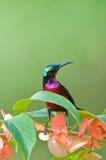 Sunbird con la flor Imagen de archivo