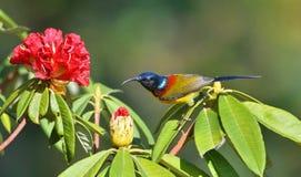 Sunbird con las flores Foto de archivo libre de regalías