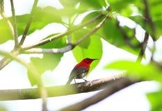 Sunbird cramoisi photo stock