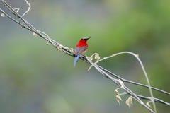 Sunbird cramoisi images stock